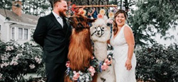 Hogy kerül a láma az esküvőre?